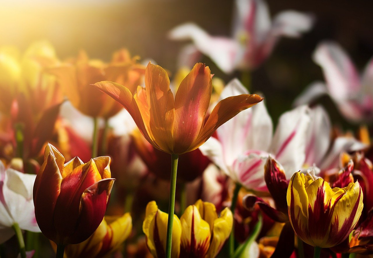 tulips, flowers, flower bed
